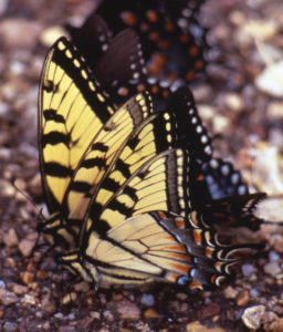 A photo of tiger swallowtail butterflies in a puddle