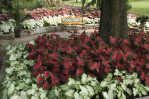 Caladiums The Gateway Gardener