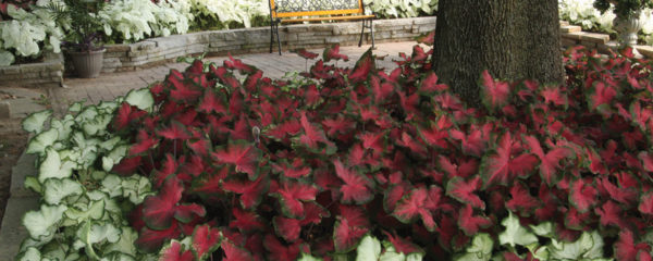 mass planting of caladium bulbs