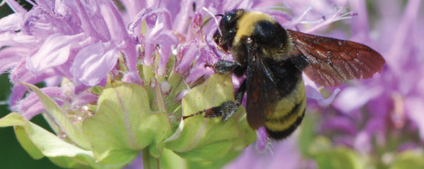 a photo of Yellow bumblebee on Monarda photo by Ed Spevak, St. Louis Zoo
