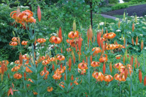 An image of Michigan lily.