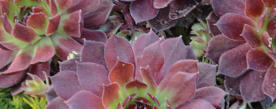 A picture of the succulent Sempervivum 'Rock n Roll Rosette'